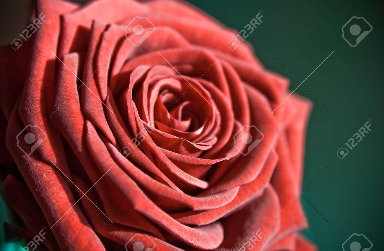 flower: red rose as postcard for example Stock Photo - 5484154