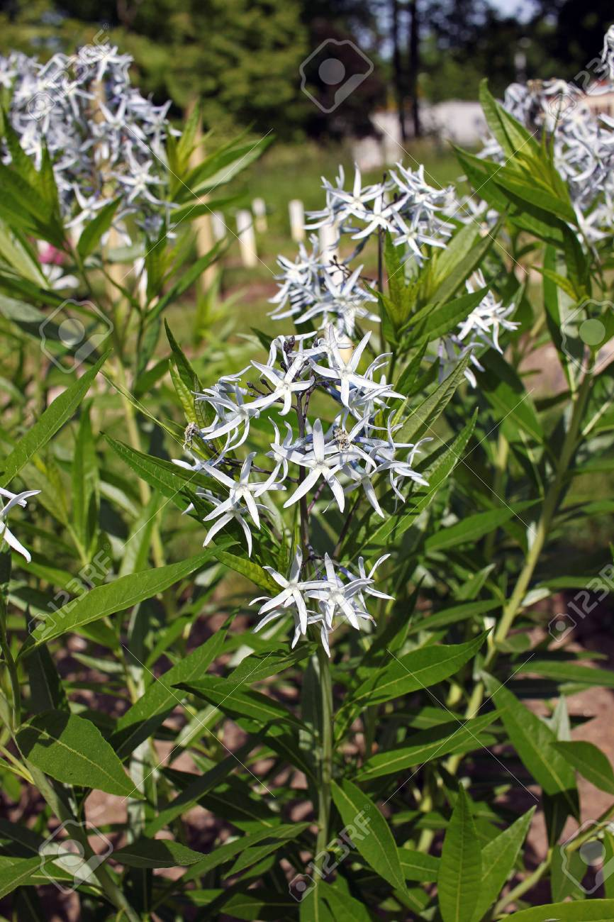 Amsonia Tabernaemontana Commonly Called Bluestar Is A Missouri