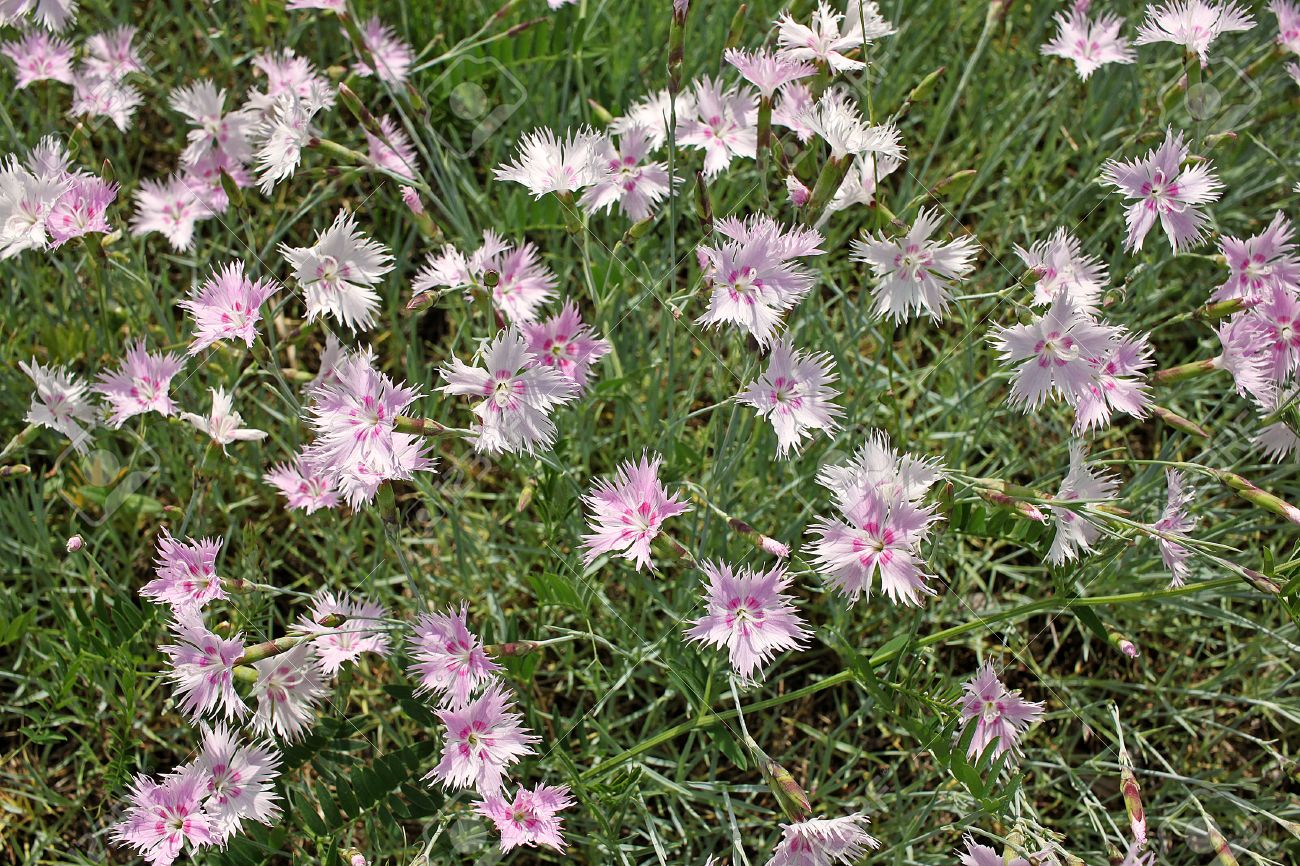 Dianthus crinitus flowers dianthus crinitus produces solitary dianthus crinitus flowers dianthus crinitus produces solitary white many stellate flowers from may to mightylinksfo Choice Image