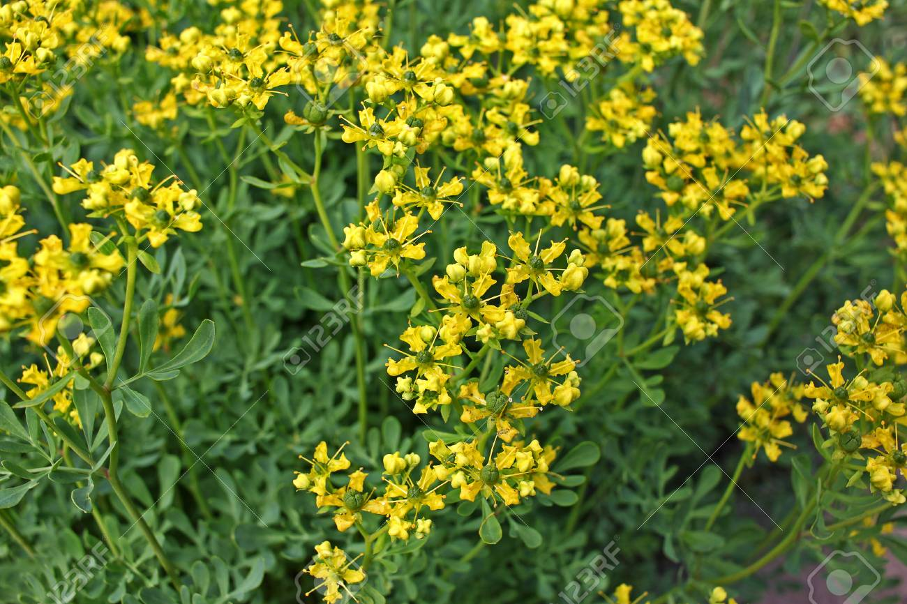 Ruta Graveolens Commonly Known As Rue Common Rue Or Herb Of