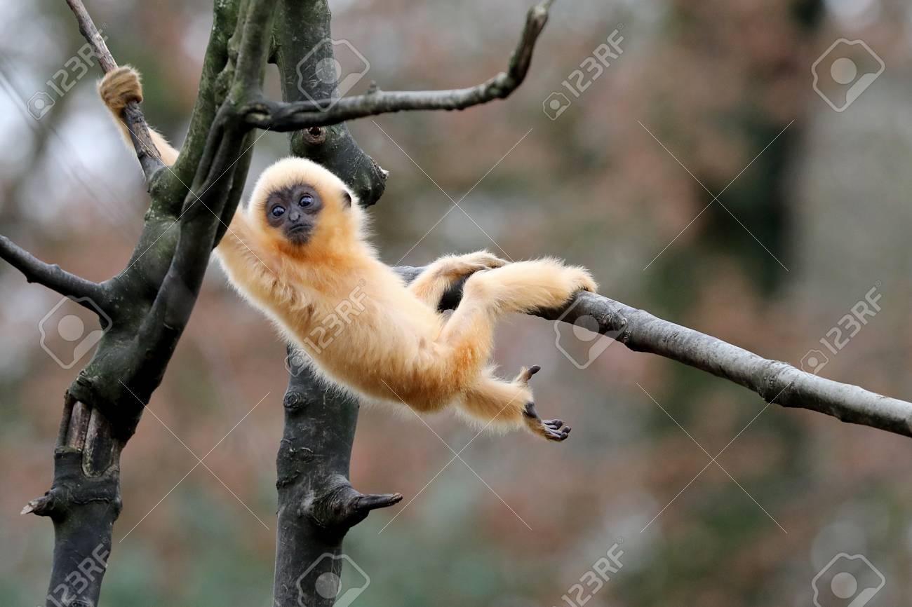 yellow cheeked gibbon - 93237380