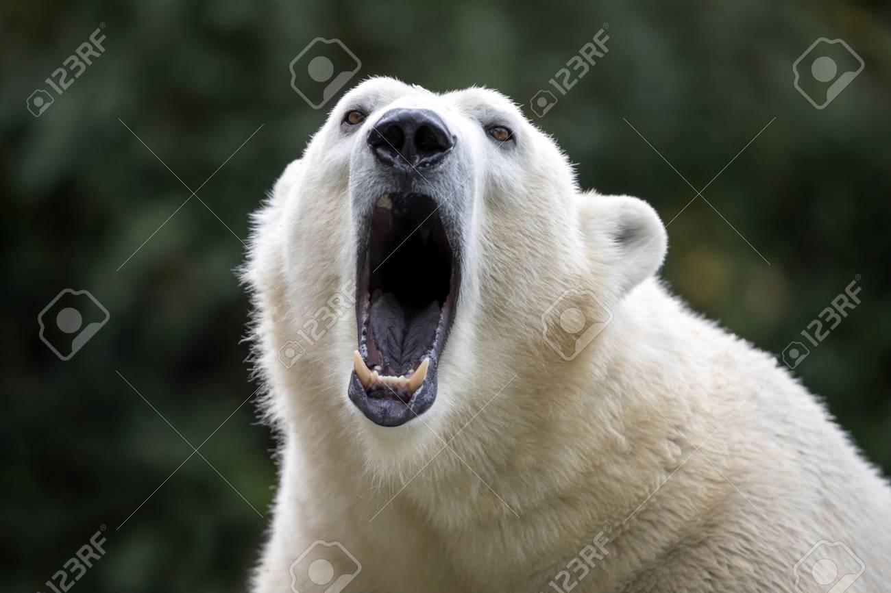 Polar bear close-up - 97882104