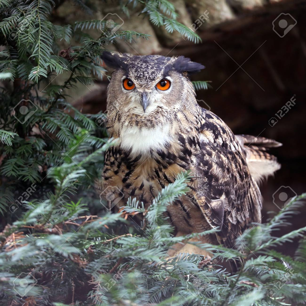 Eurasian eagle-owl at nature, close up view - 117916317