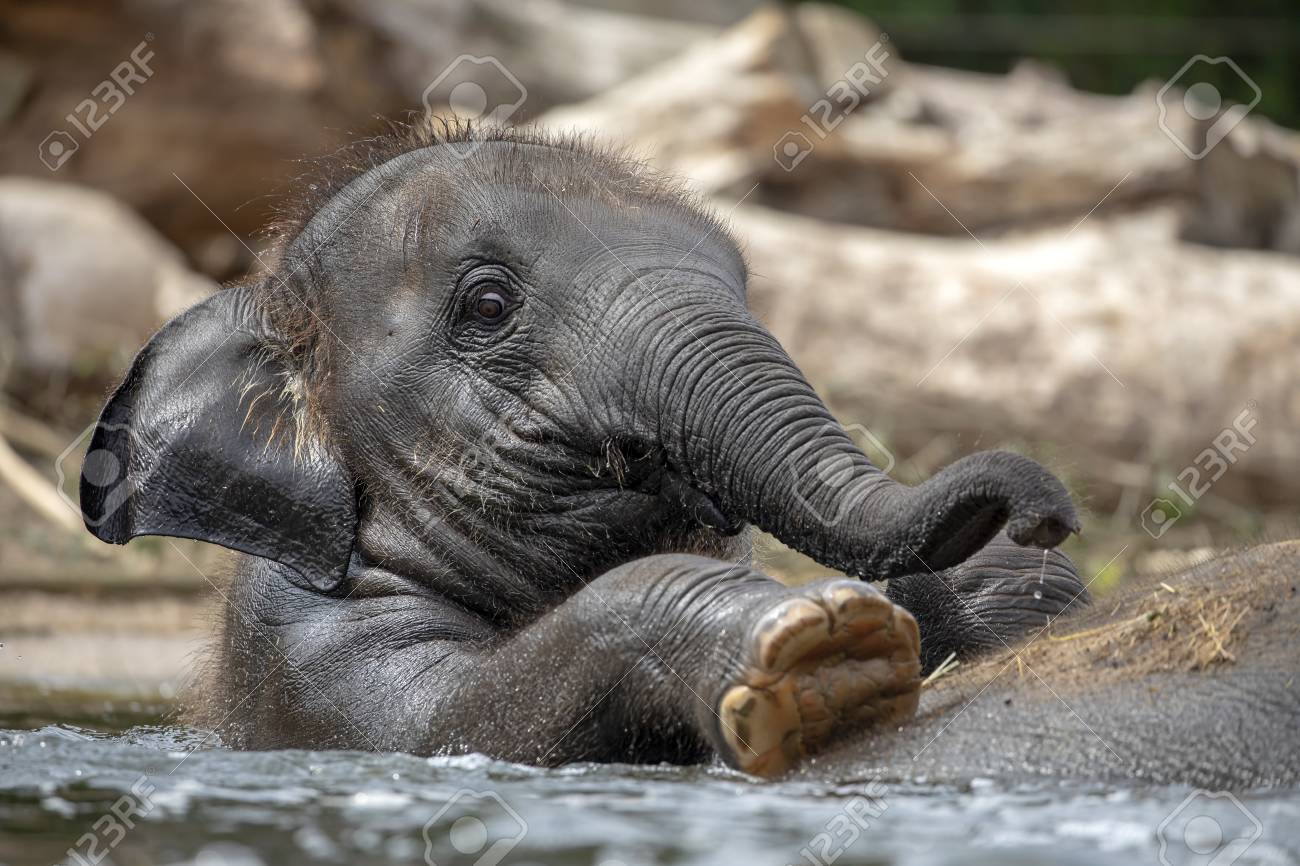 Young Indian Elephant on back on mother in the water - 118902256