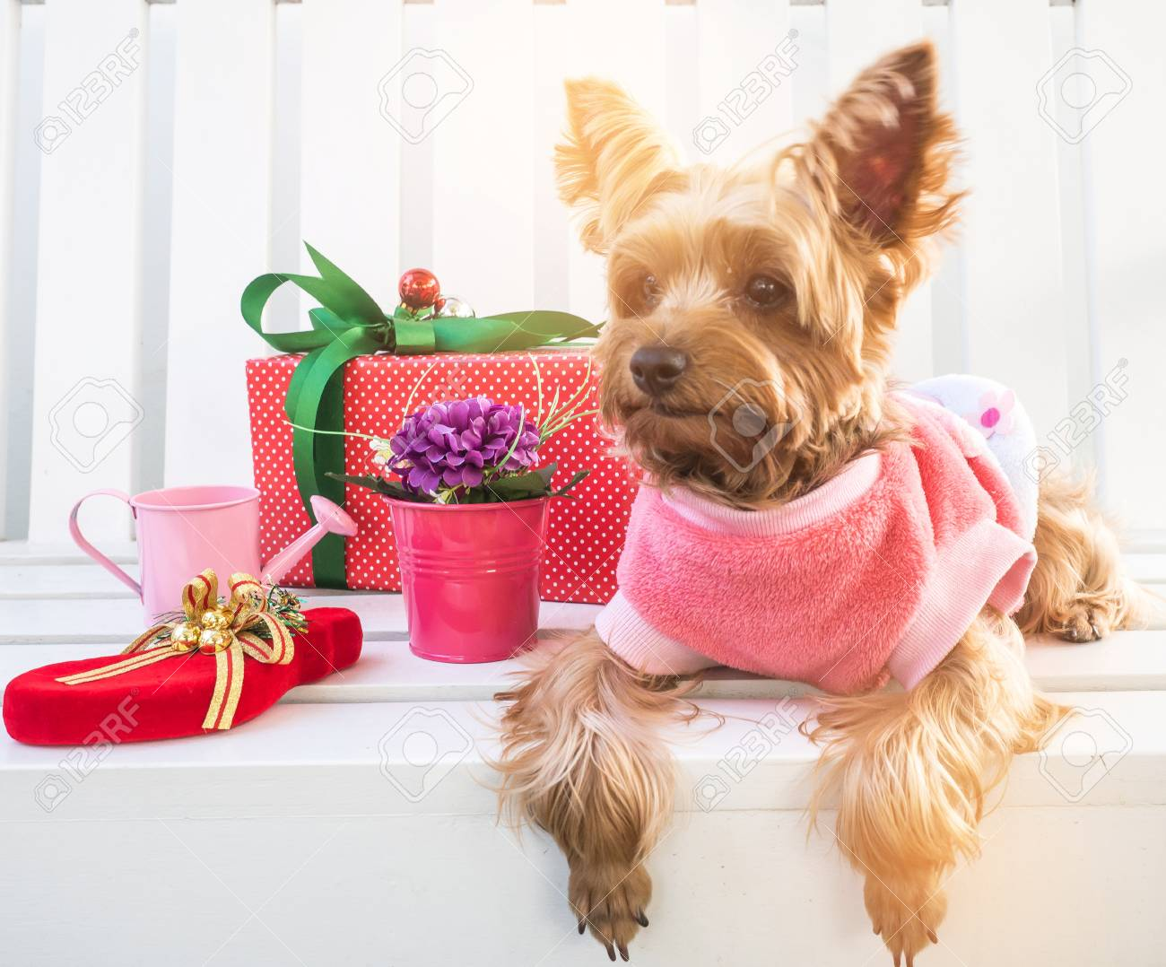 Small Cute Funny Yorkshire Terrier Puppy Dog In A Christmas In