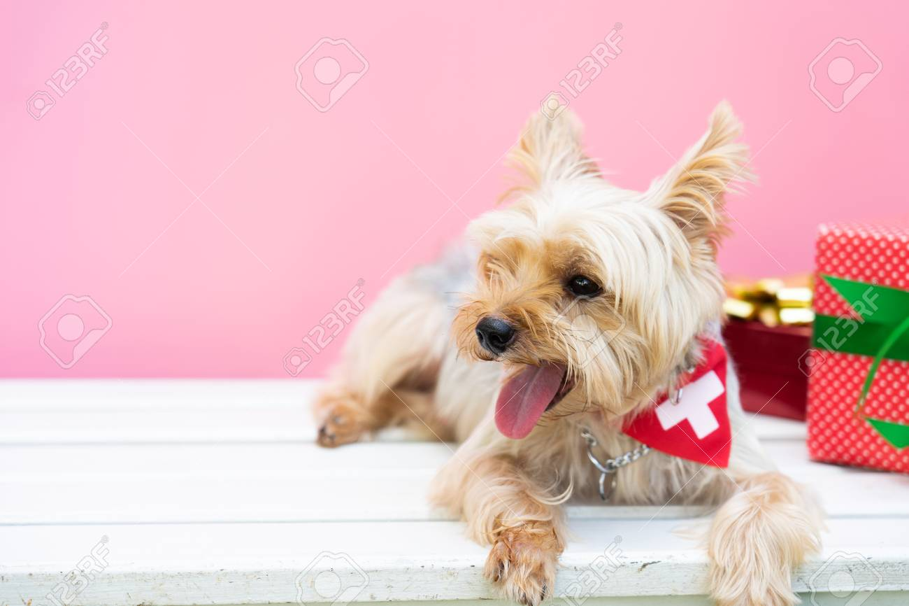 Small Cute Funny Yorkshire Terrier Puppy Dog In A Christmas In White