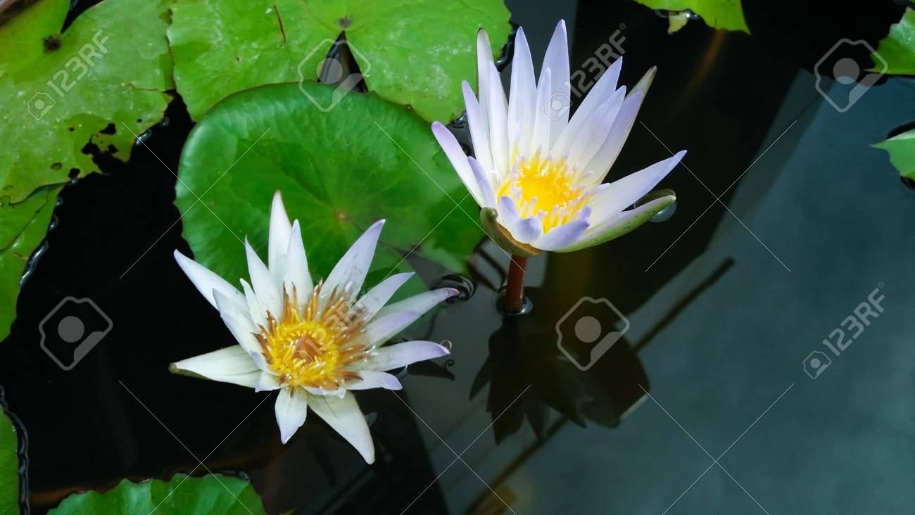 White lotus flower in water background is the lotus leaf and stock stock photo white lotus flower in water background is the lotus leaf and lotus flower and lotus bud and tree izmirmasajfo