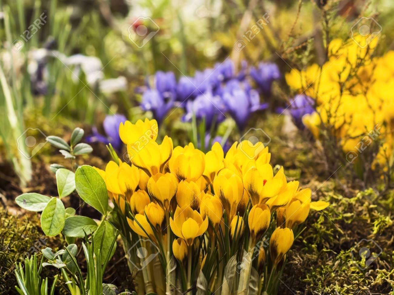 Foto de archivo - Hermoso azafrán amarilla que crece en el prado de la flor