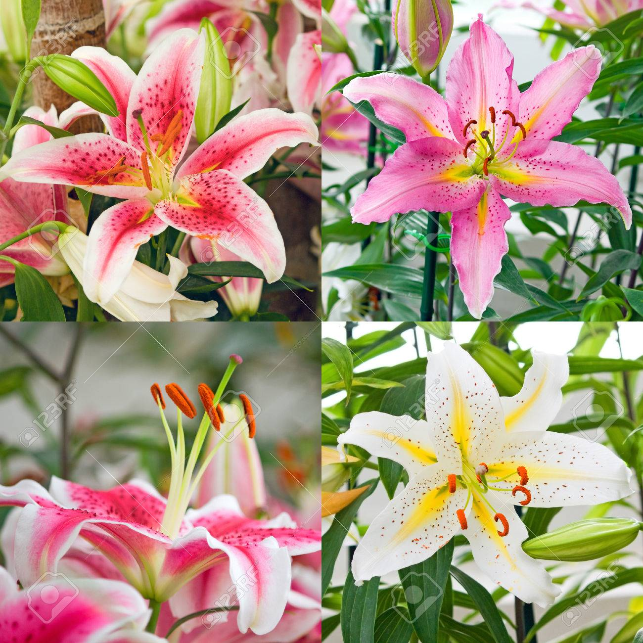 Set Collage Of Four Beautiful Pink Red And White Tiger Lily