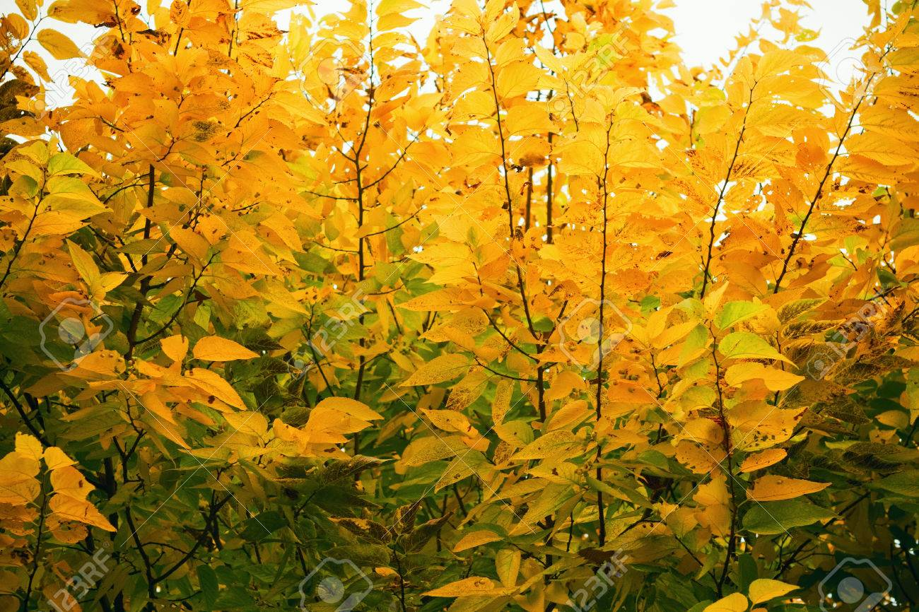 Beautiful Colorful Yellow And Green Autumn Leaves On Trees Fall