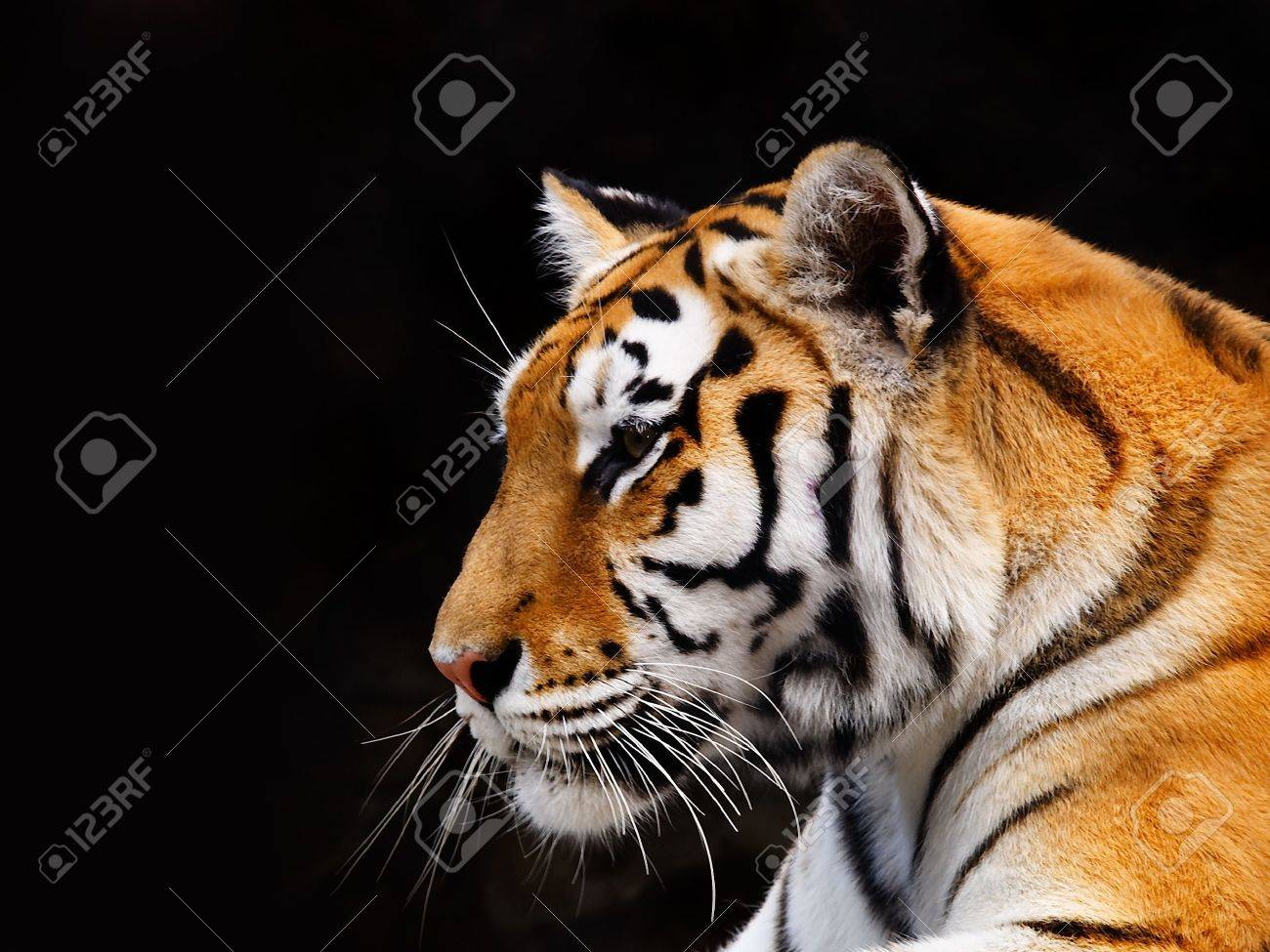 Big Tiger on a black background Stock Photo - 553287