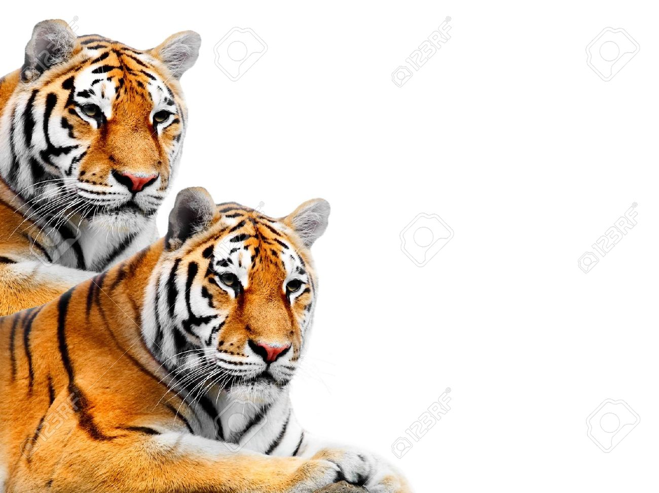Big Tiger on a white background Stock Photo - 903890