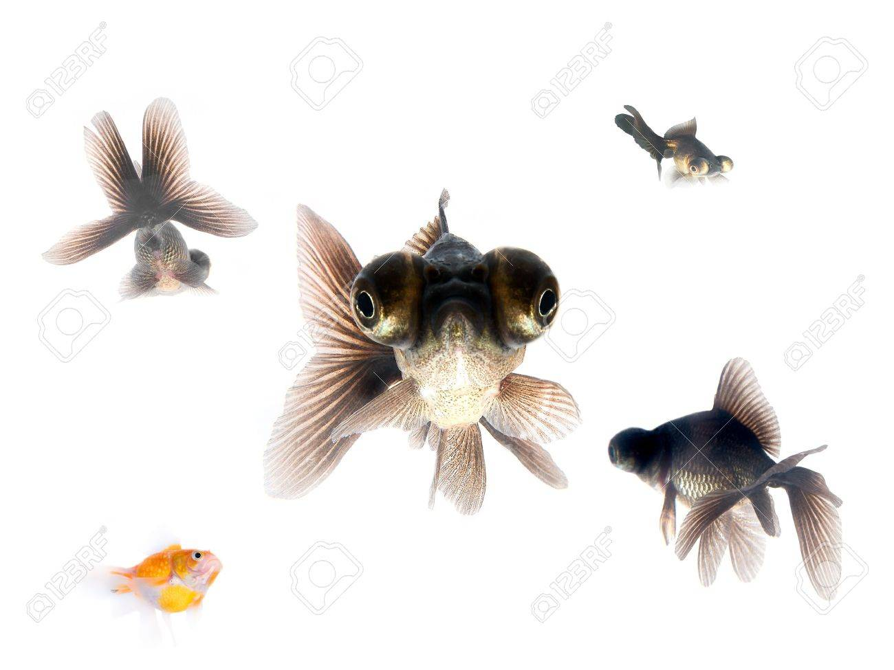 Black goldfishes Stock Photo - 914095
