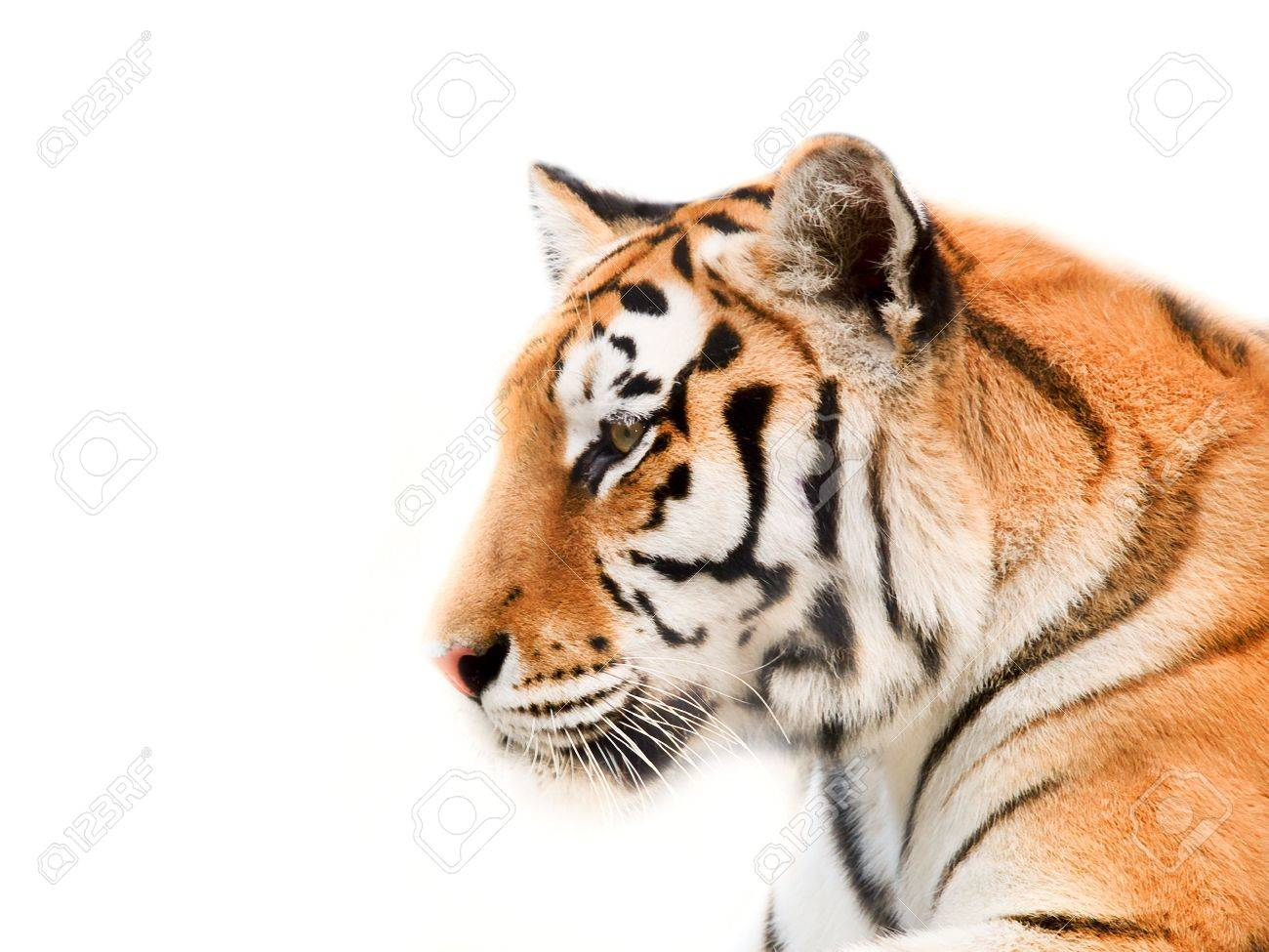 Big Tiger on a white background Stock Photo - 1253885