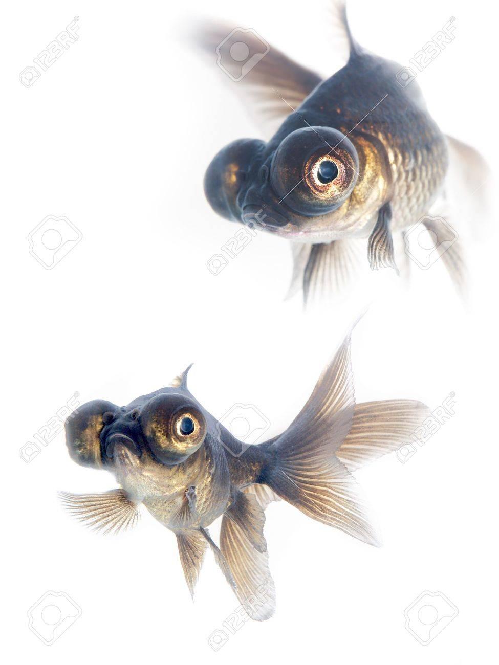 Black goldfish Stock Photo - 1253889