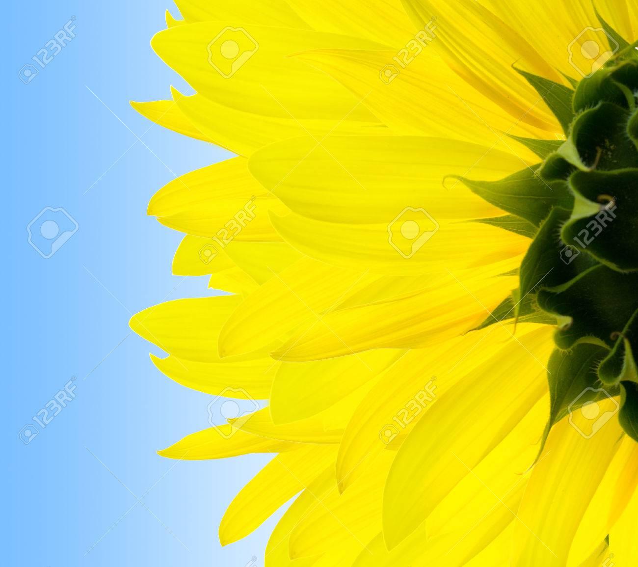 sunflower Stock Photo - 1504540