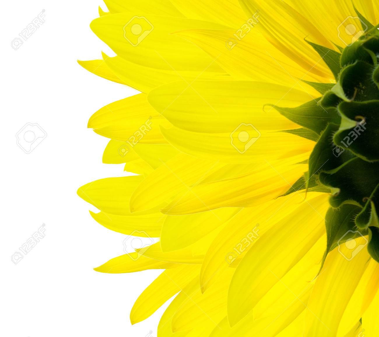 sunflower Stock Photo - 1511486