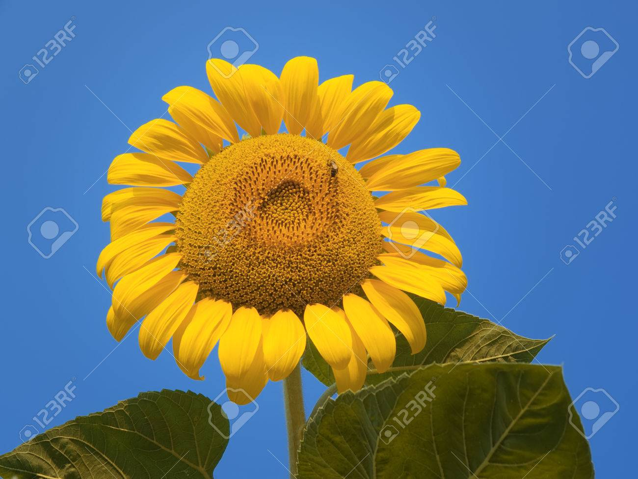sunflower Stock Photo - 1528082