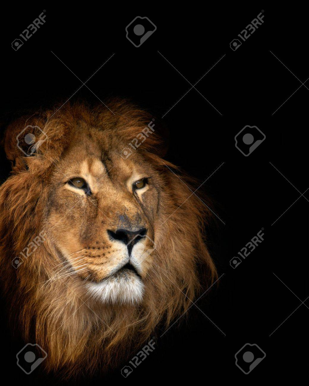 noble lion on a black background Stock Photo - 10611224