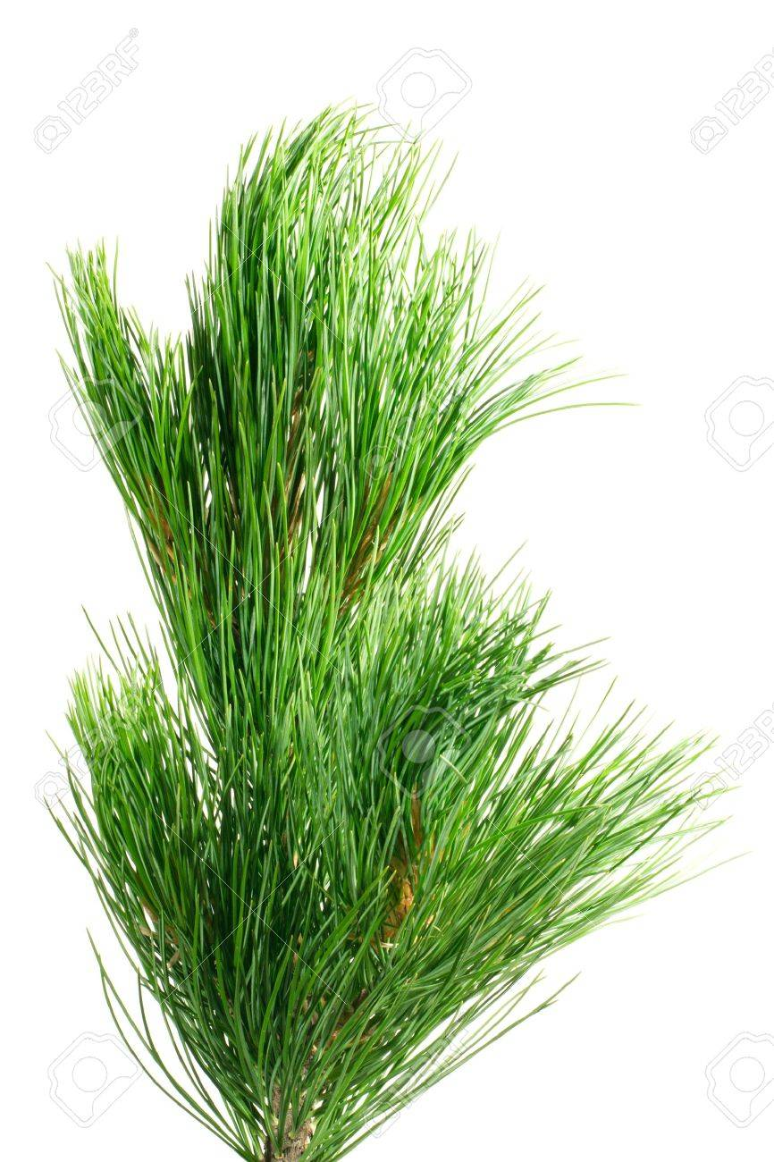 siberian cedar(siberian pine) branch isolated on white (natural habitat - siberia and the Far East). length of needles about 10-15cm. Siberian pine is tree with specific tarry scent. Cones contents very tasty nuts. Stock Photo - 1318467