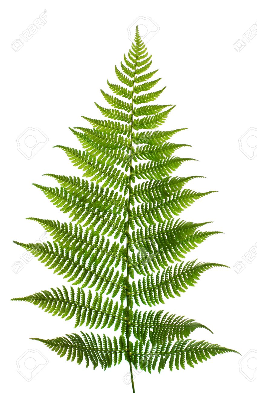 Leaf of a fern on a white background close up Stock Photo - 1591716