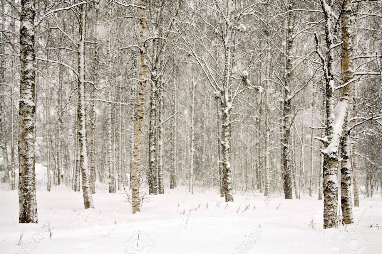 Birch trees in the winter stock photo image 2170700 - Digital Download Winter Birch Trees Nature Image Winter Scene