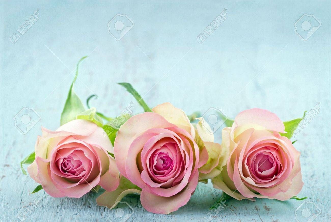 Three Pink Roses On Light Blue Wooden Shabby Chic Background Stock