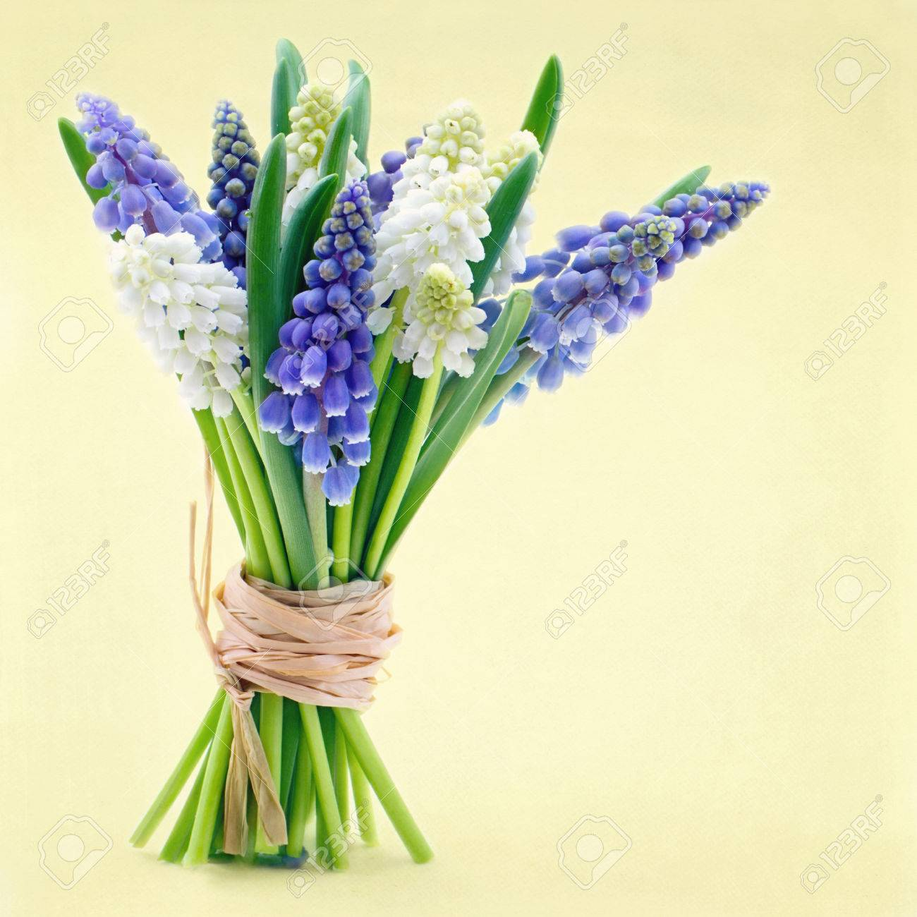 Bouquet of blue and white grape hyacinth spring flowers on yellow bouquet of blue and white grape hyacinth spring flowers on yellow easter background stock photo dhlflorist Choice Image