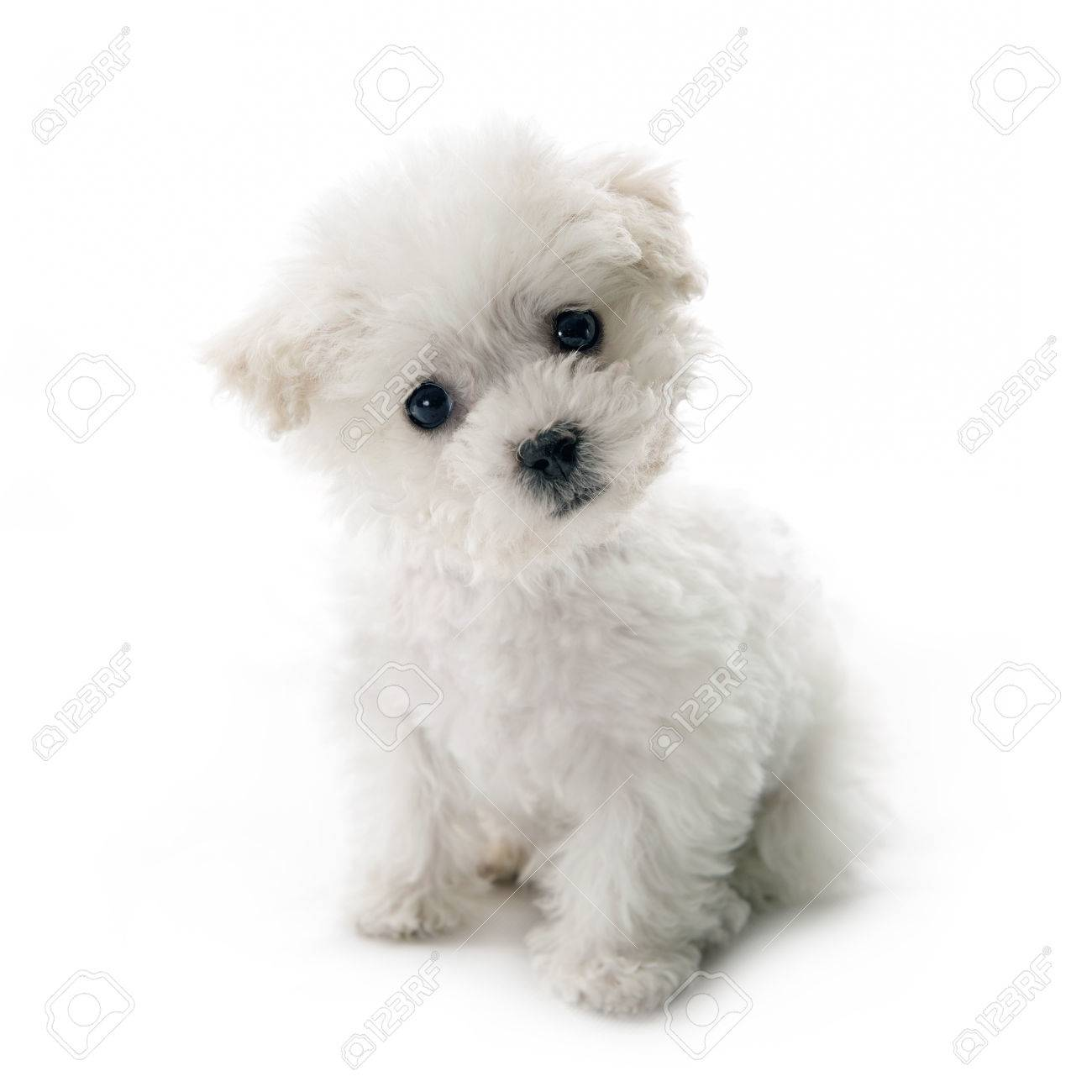 cute small bichon frise puppy at 9 weeks old sitting on white