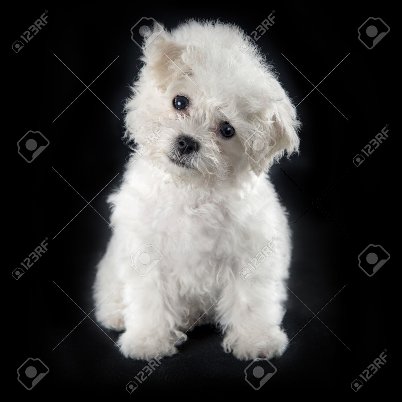 cute small bichon frise puppy at 9 weeks old sitting on black