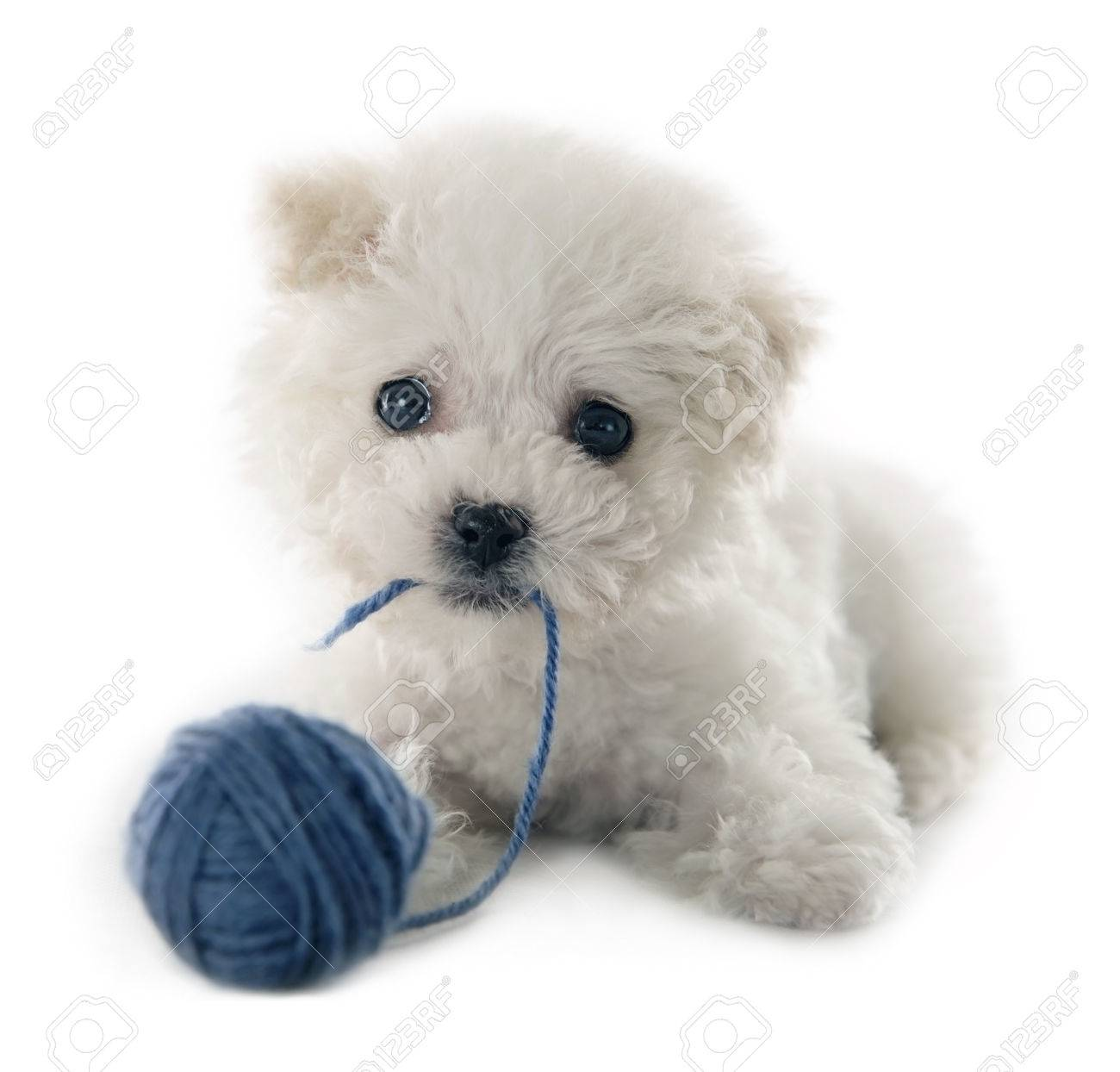 Cute small Bichon Frise puppy at 9 weeks old on white isolated