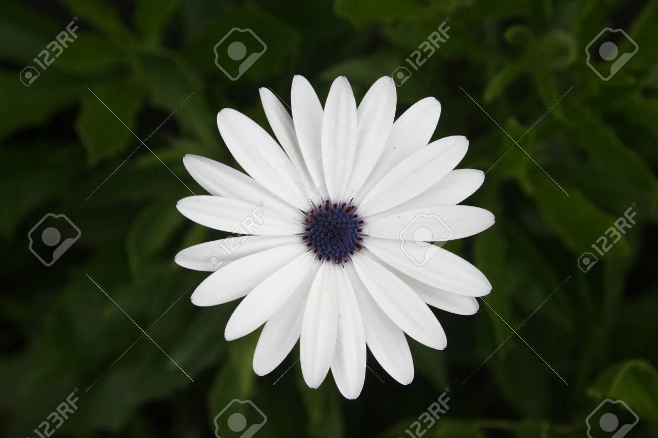 Fleur Blanche De Cape Daisy Nom Scientifique Dimorphotheca