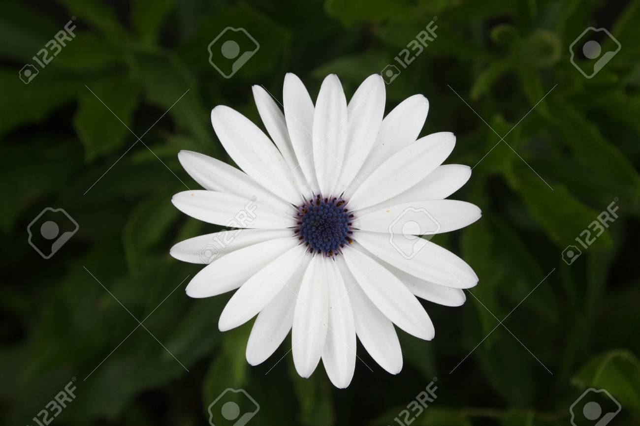 White flower of cape daisy scientific name dimorphotheca pluvialis scientific name dimorphotheca pluvialis also known as weather prophet african daisy and cape marigold it has about twenty one petals white flower mightylinksfo