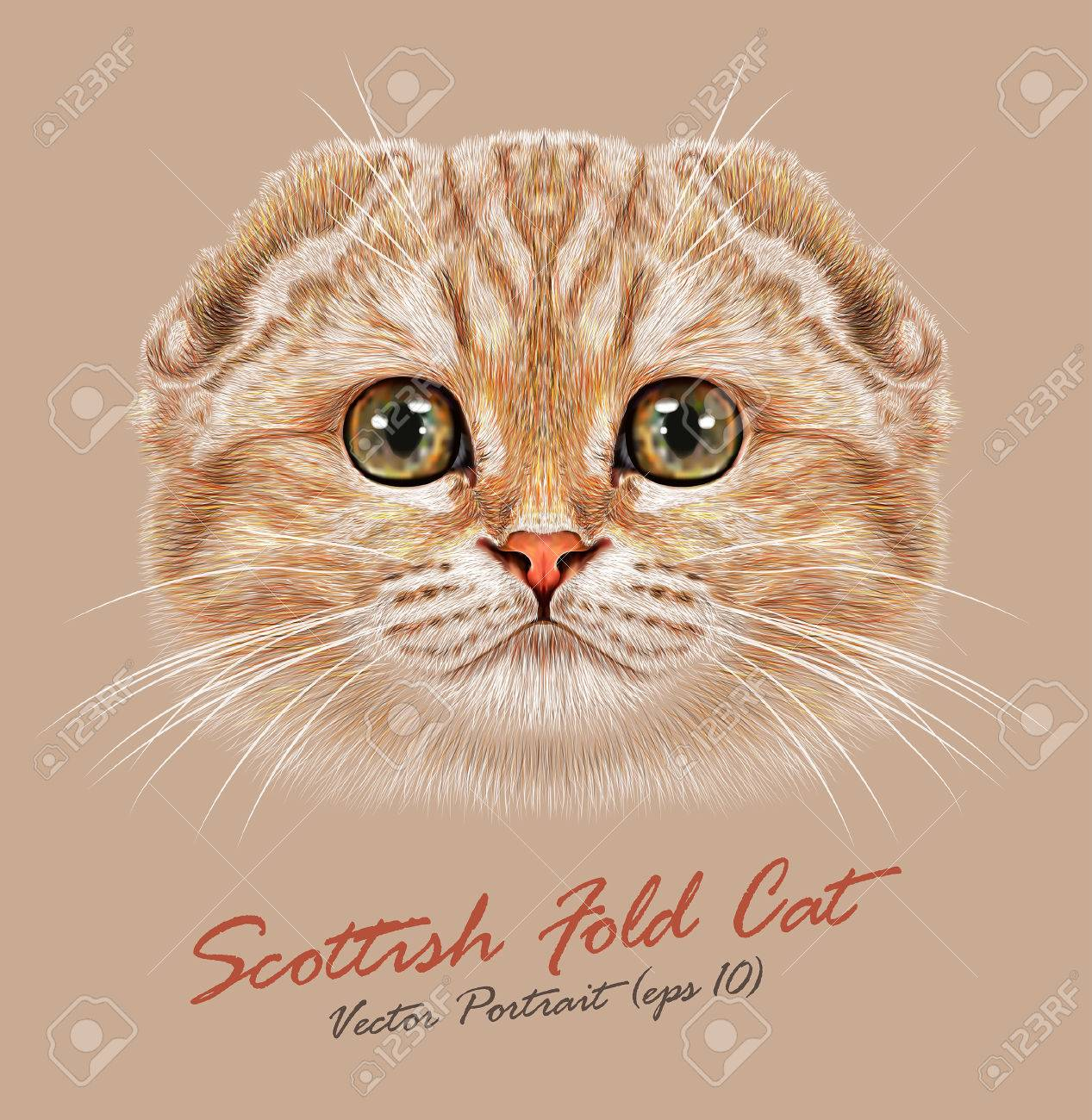 vector portrait of scottish fold cat young cute cat peach colored
