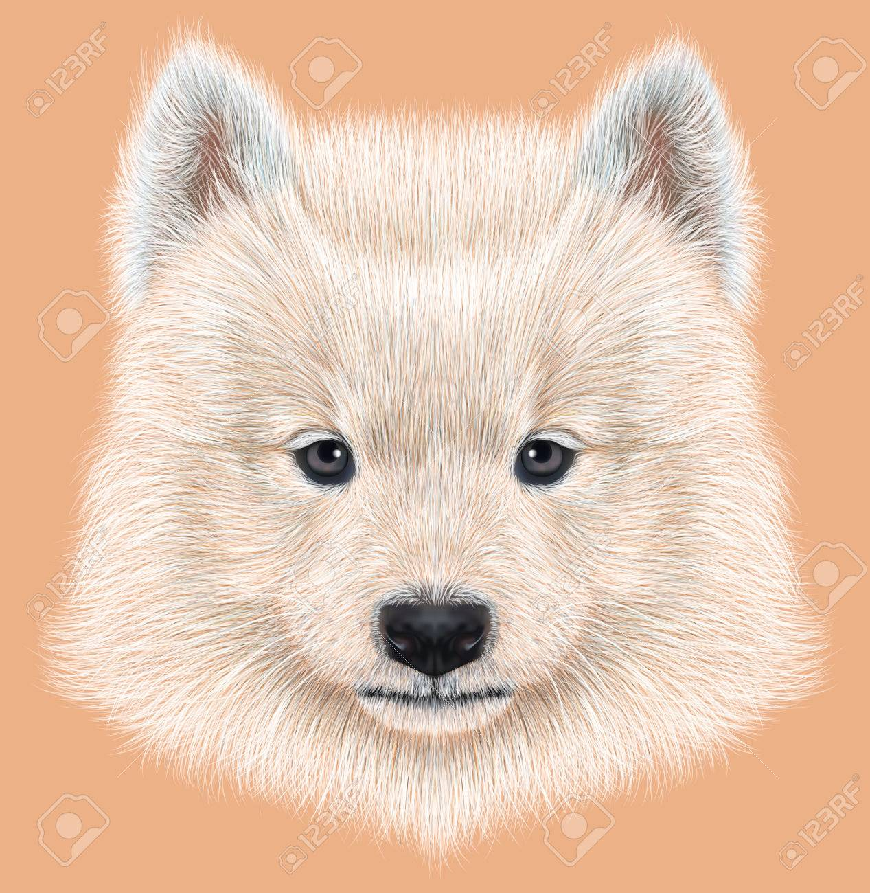 Cute Face Of Samoyed Puppy On Peach Color Background Stock Photo