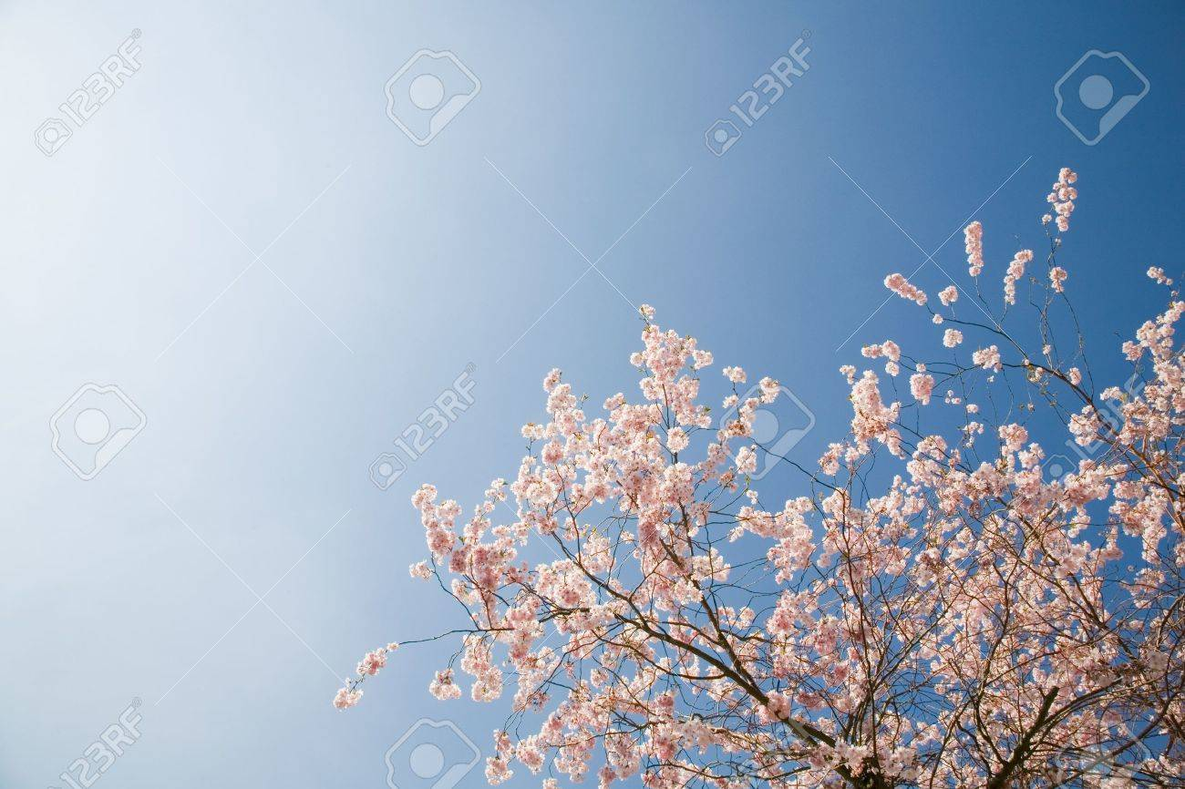 Pink blossom on cherry tree against bright clear sky, England, UK Stock Photo - 17981187