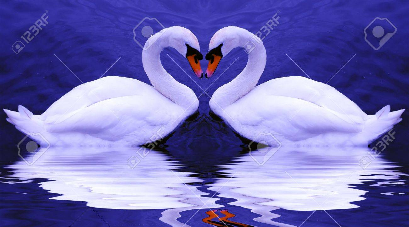 Valentine's swans come together to form a heart-shape on a beautiful still pond... Stock Photo - 2487020