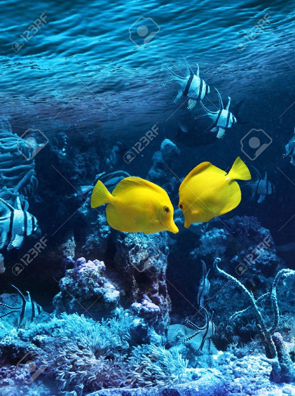 Two yellow tropical fishes meet in blue coral reef sea water aquarium Stock Photo - 10126908