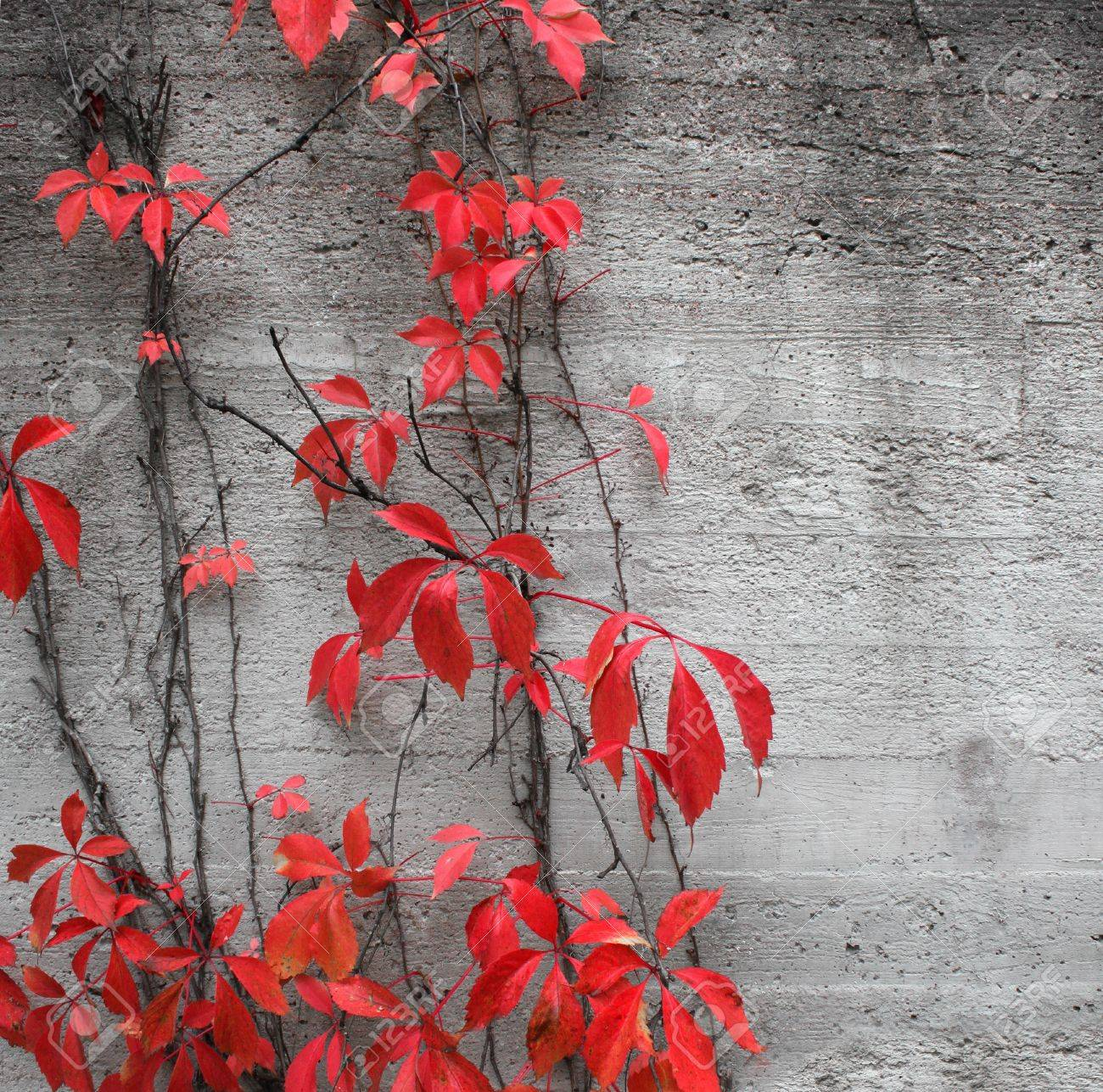 Red climbing plant on grey concrete stone wall background Stock Photo - 10763128