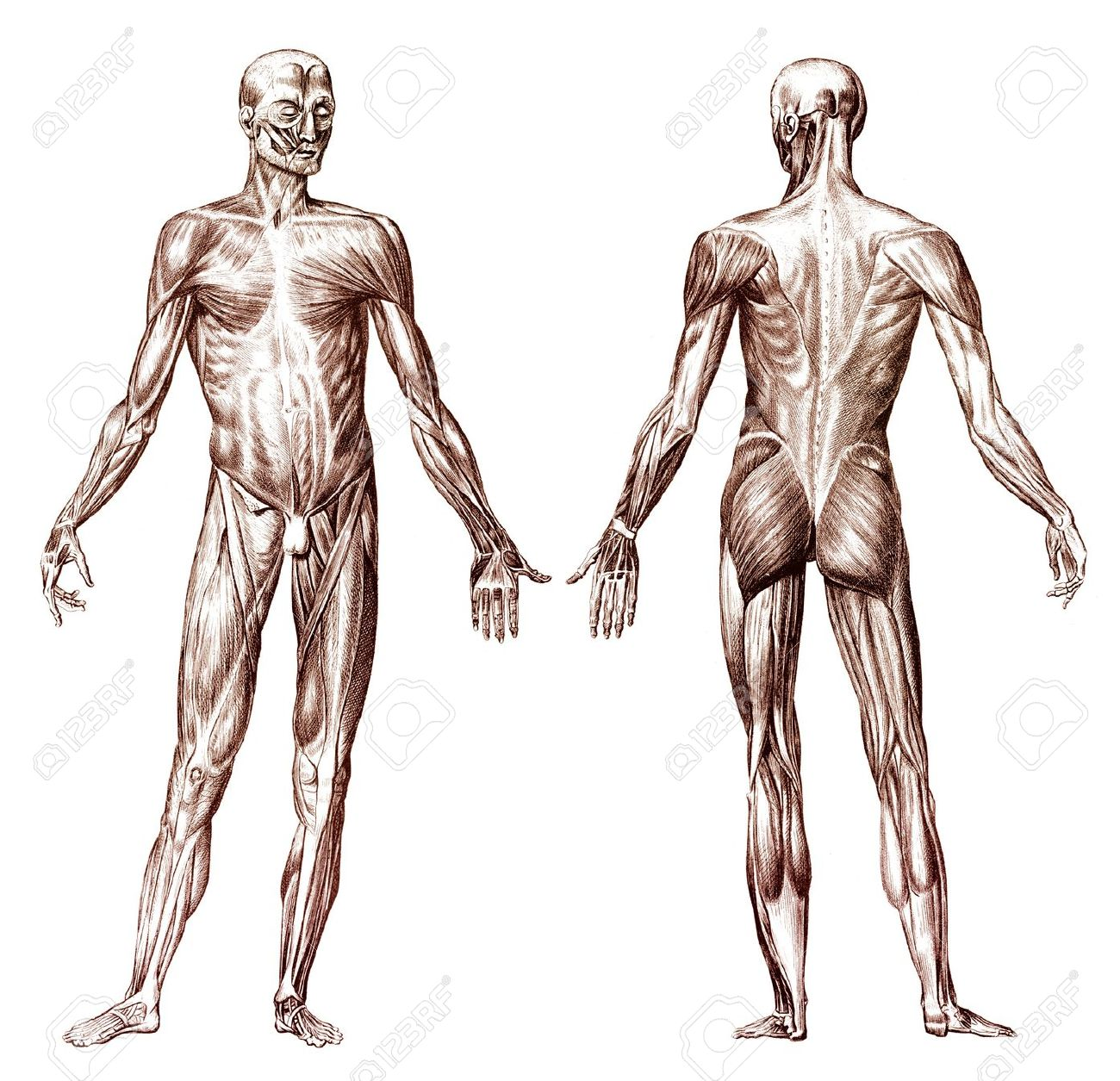 old engraving of human anatomy muscular system stock photo, Muscles
