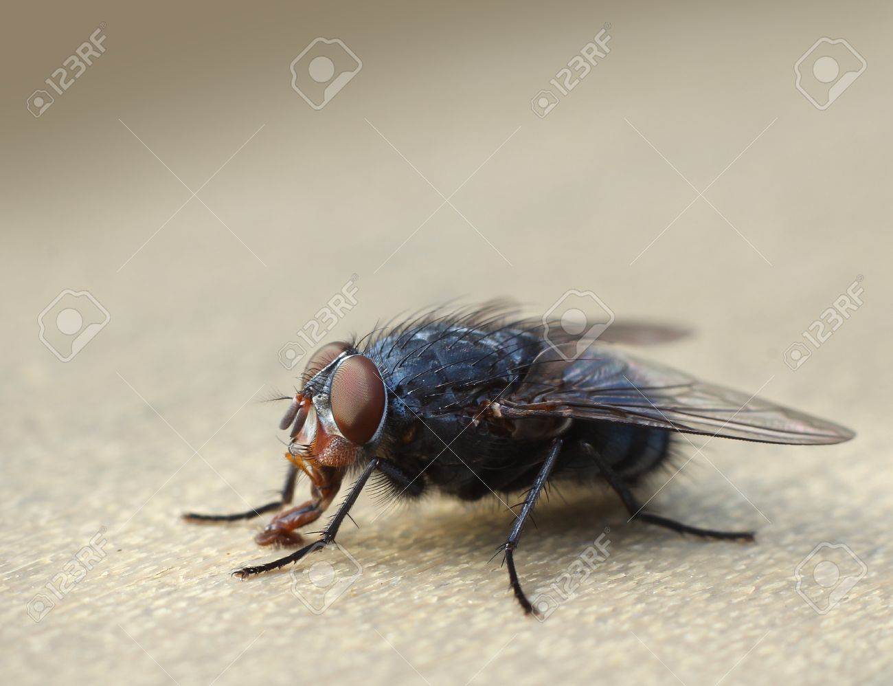 Common Housefly Macro Insect Bug Closeup Stock Photo, Picture And ...