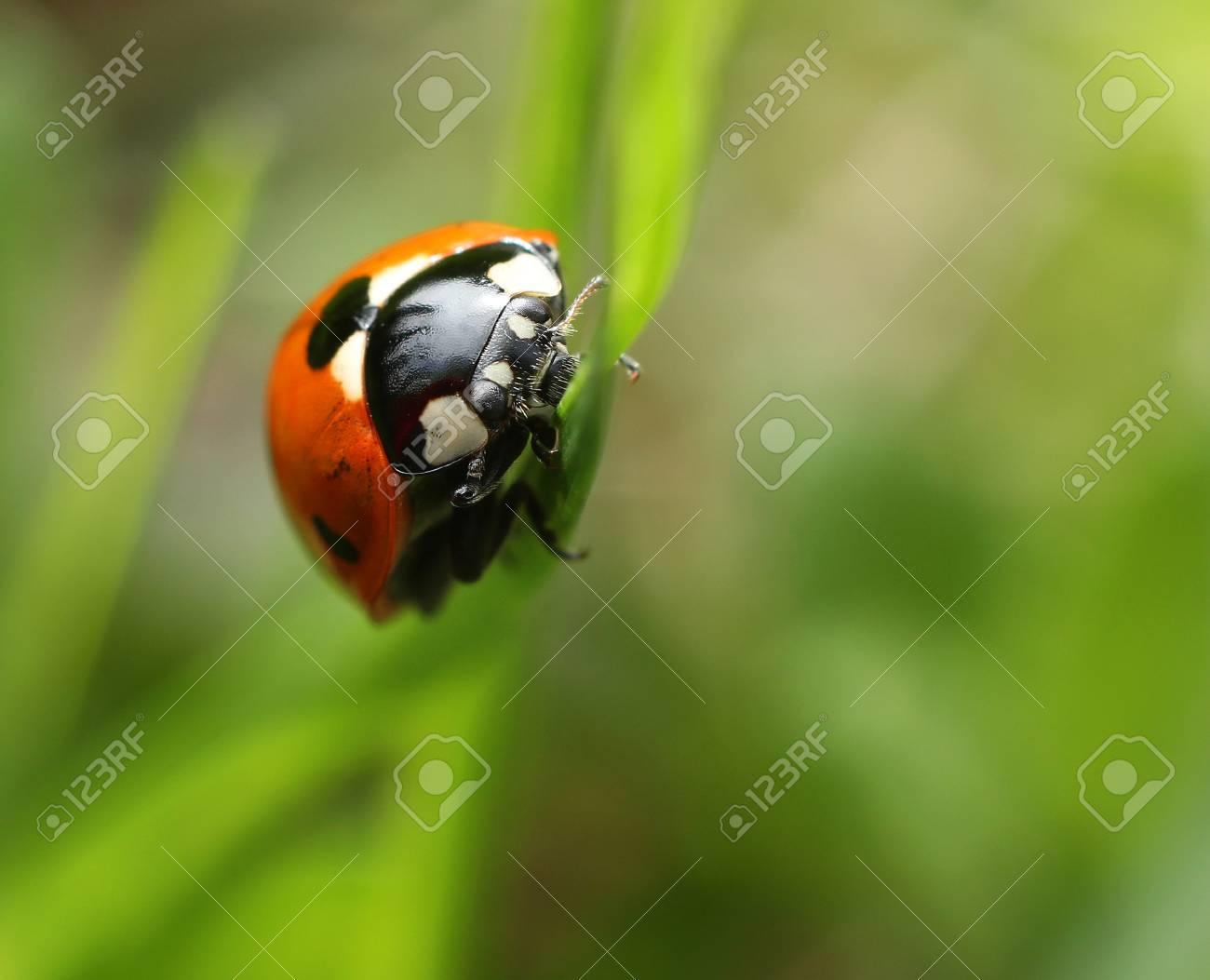 Labybug Climbing On Green Grass Blade Closeup Macro Stock Photo