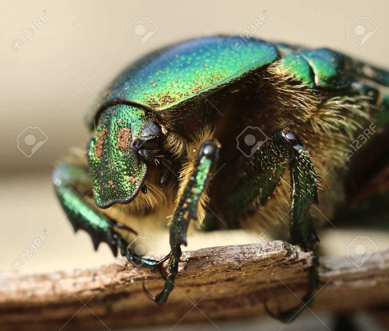 Anatomie einer Rose käfer Makro Nahaufnahme