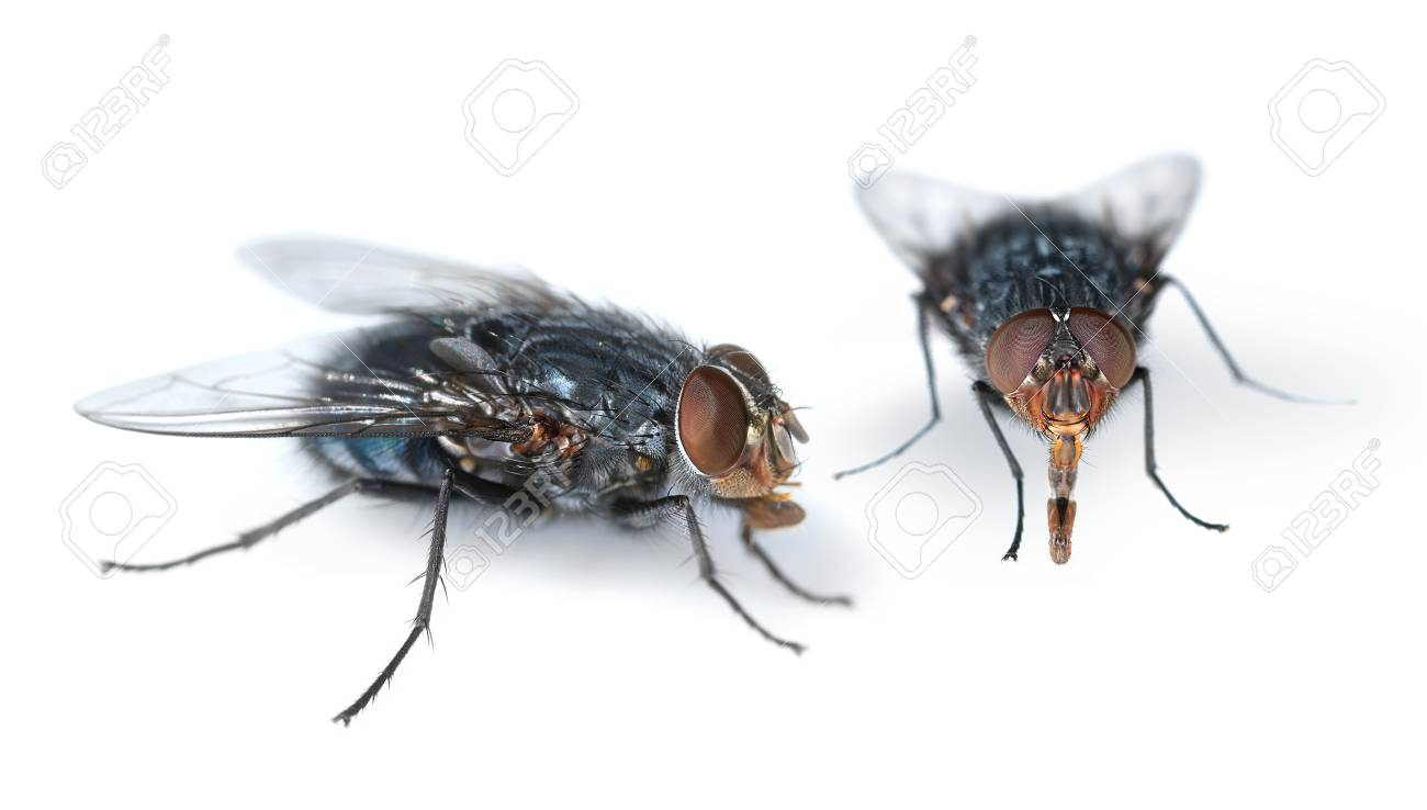 Two Houseflies Looking For Feed On White Background Stock Photo ...