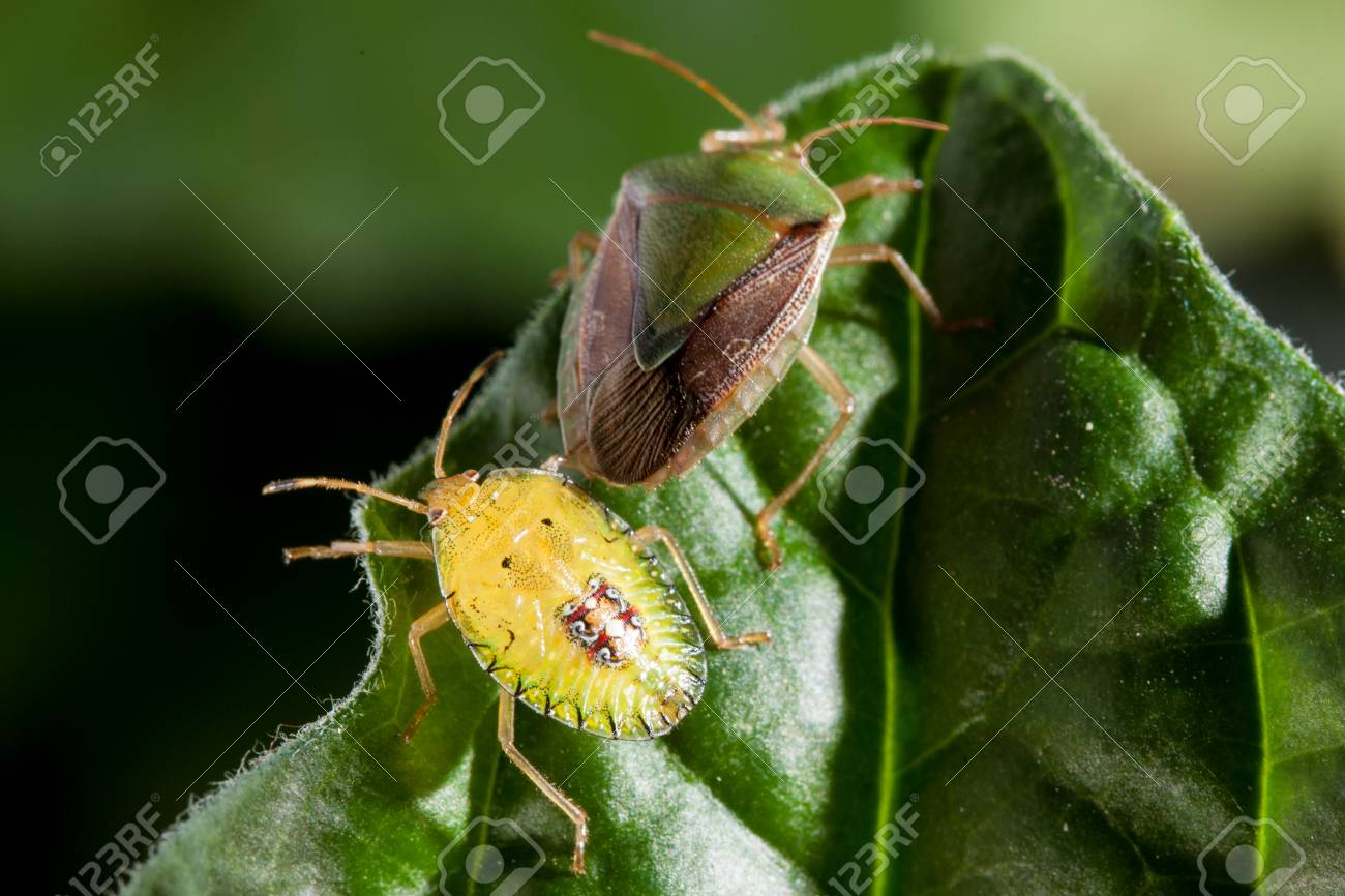 Couple Of Bedbug Insect On Green Leaf Extreme Close Up Photo Stock