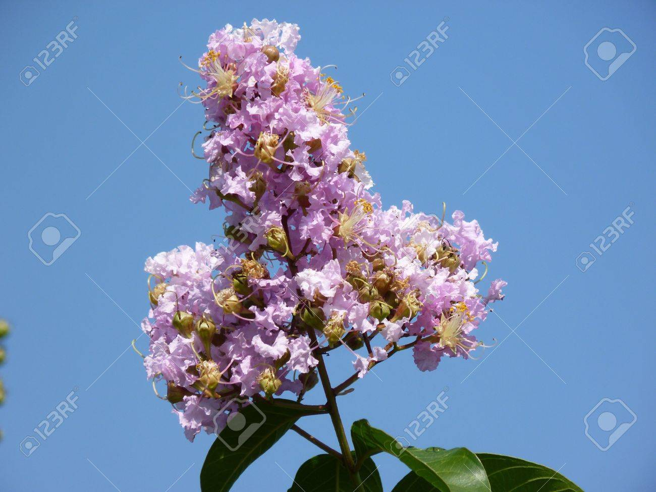 a pink crape myrtle against the blue sky Stock Photo - 12605353
