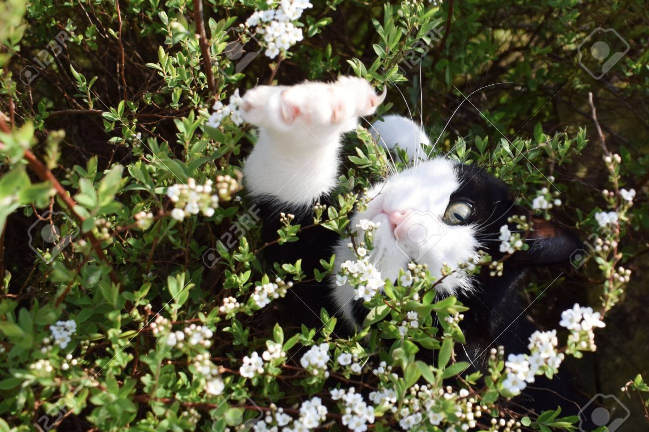 A Black Cat With White Spots In The Flowering Bushes Of A Spring