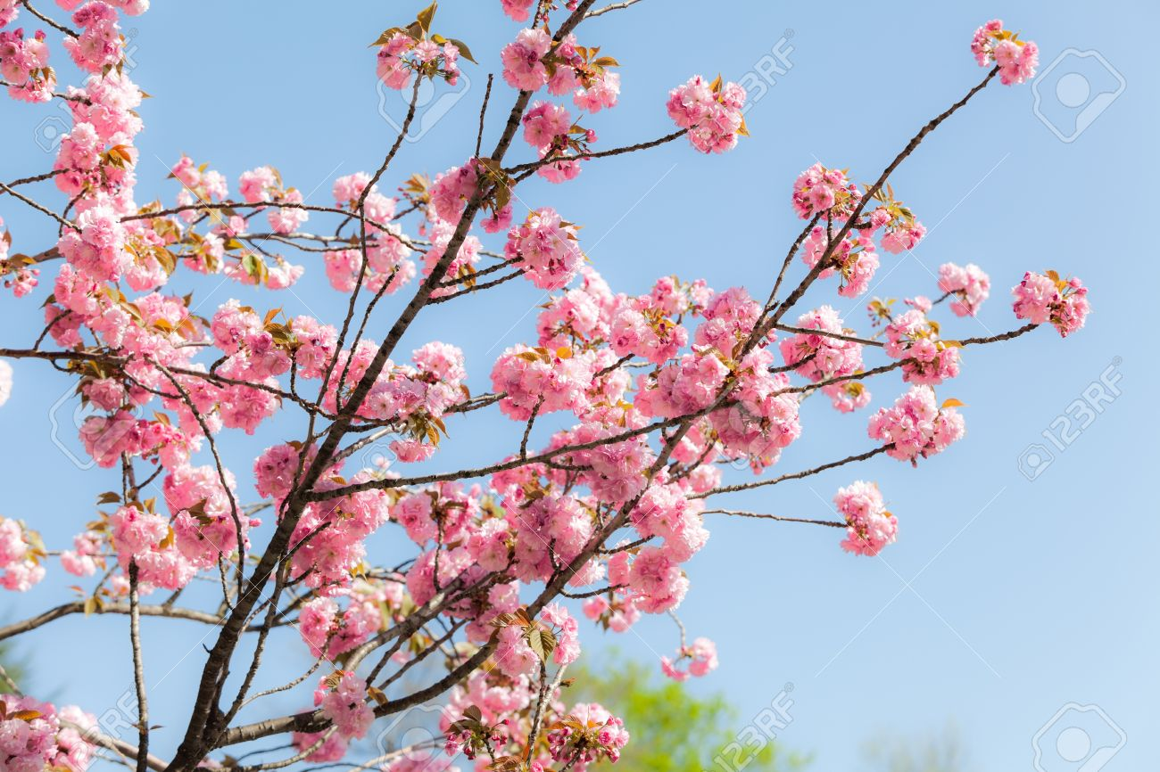 Japanese Cherry Sakura Blossom With Pink Flowers On The Tree