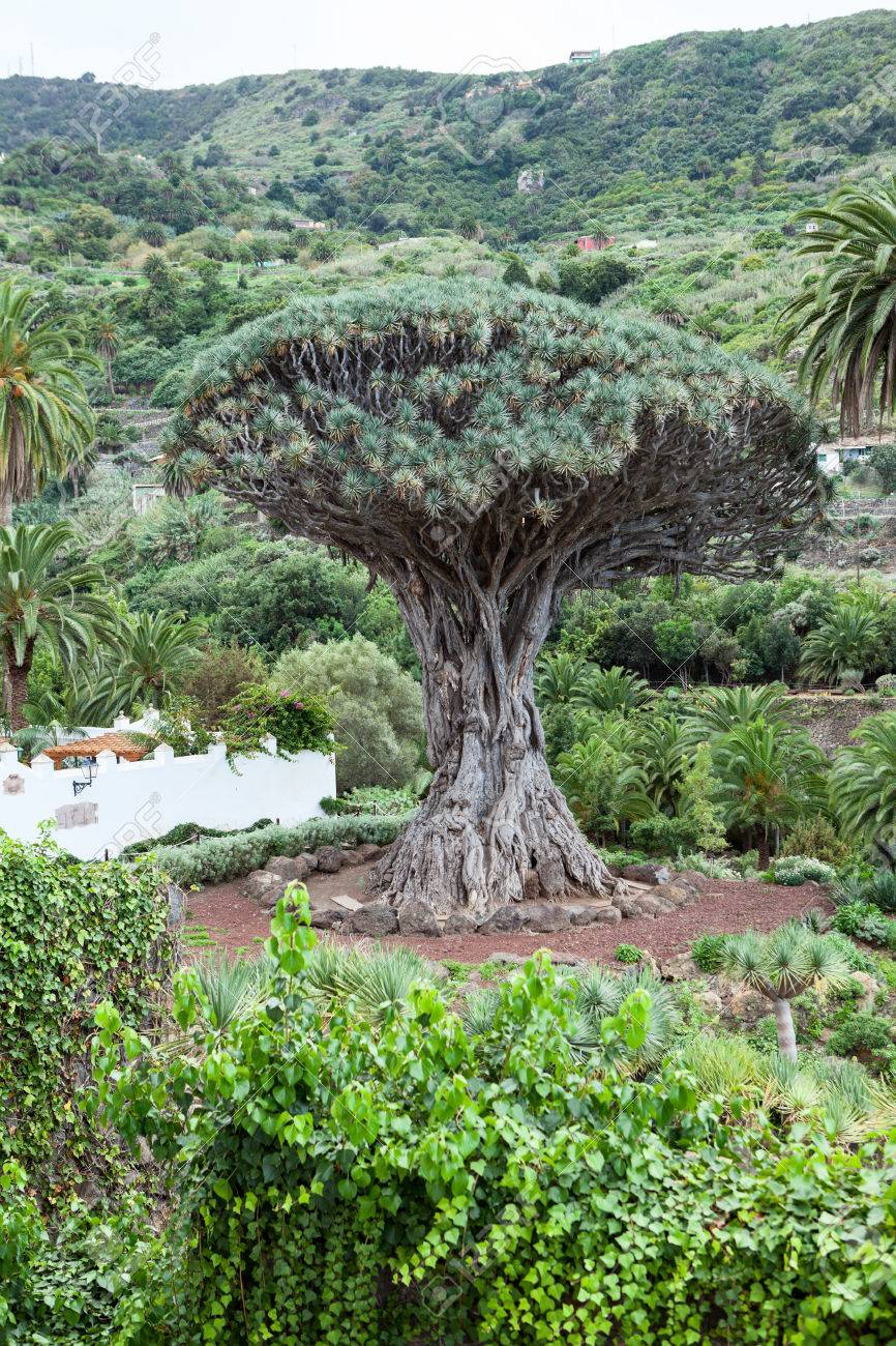 The dragon tree dracaena draco tree is a natural symbol of the the dragon tree dracaena draco tree is a natural symbol of the island tenerife biocorpaavc Image collections