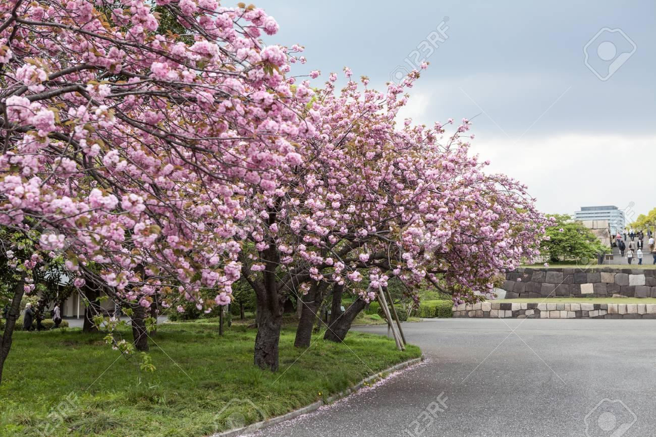 Empty Garden With Blooming Pink Cherry Trees Japanese Sakura